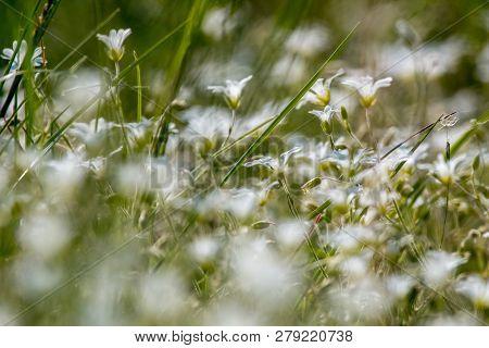 White Rural Flowers. Blooming Flowers. Beautiful White Rural Flowers In Green Grass As Background. M