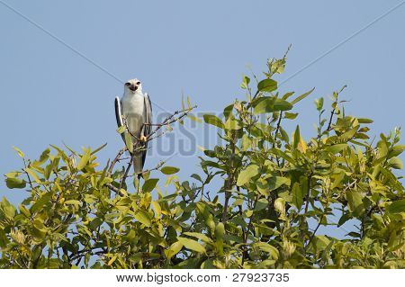 Black Shouldered Kite Bird