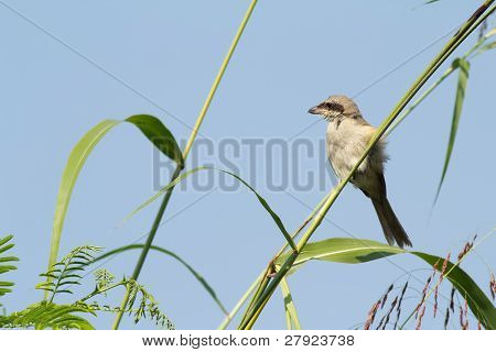 Brown Shrike bird