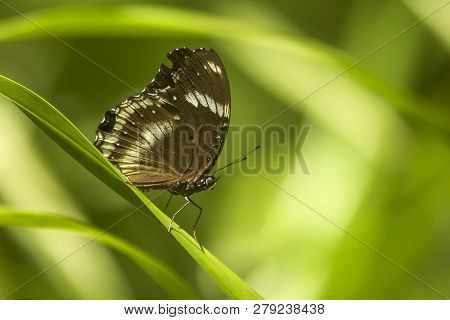 Hypolimnas Bolina Linnaeus On The Leaves Can Be Found In The General Forest