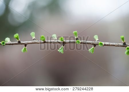 Beautiful Floral Spring Time Background. Greenery Green Fir Tree Branch With Buds And Small Needles.