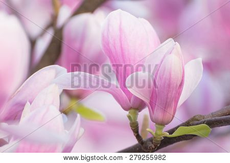 Magnolia Blooming Tree On Branch. Fragile Pink Flowers. Beautiful Spring Tree And Flowers With Pink