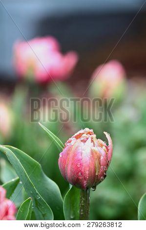 Beautiful Double Ruffled Pink Tulip , Angelique Tulips, With Rain Drops Growing In A Garden. Selecti