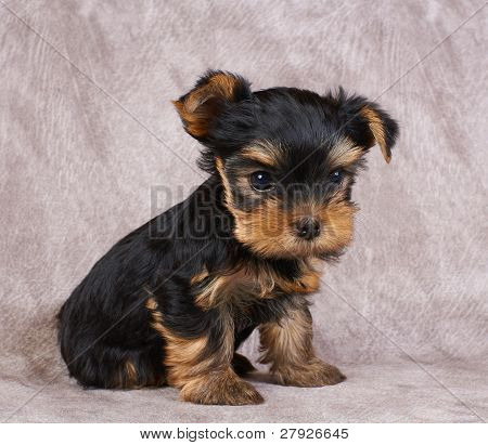 Puppy of the Yorkshire Terrier on the textile background poster