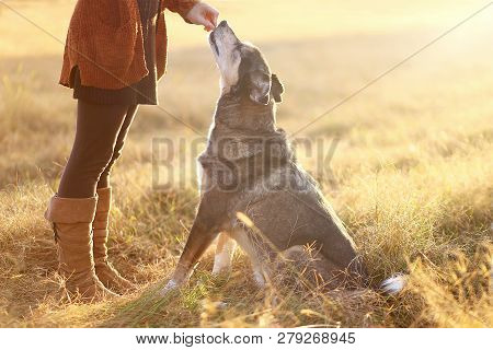 A German Shepherd Border Collie Mix Breed Dog Is Sitting Good For His Owner And Reaching Up To Get A