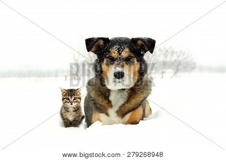 A Portrait Of A Cute German Shepherd Husky Mix Breed Dog And Little Grey Shorthaired Tabby Cat Kitte