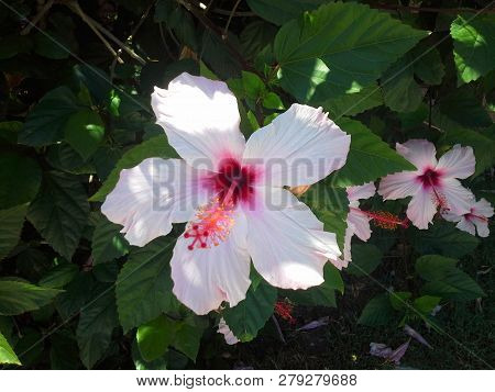 Purple And Pink Hibiscus On Green Background, Tropical Summer Flower. Green Tropical Leaf. Jungle Ba