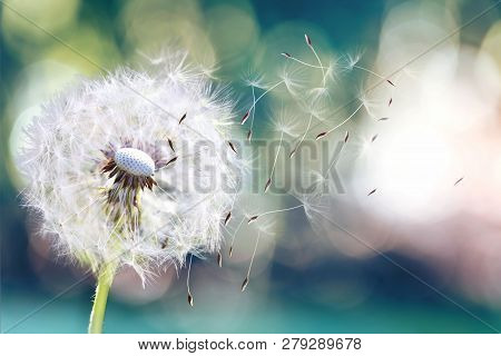 Dandelion. Close Up Of Dandelion Spores Blowing Away,dandelion Seeds In The Sunlight Blowing Away Ac