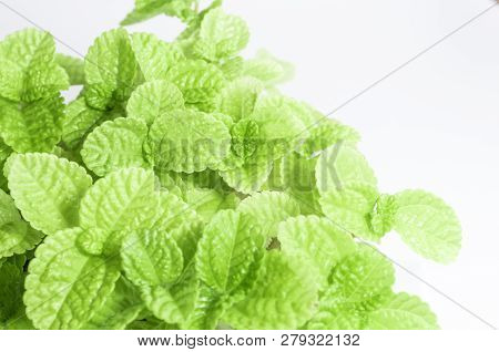Freshness Leaves Of Ornamental Plant As Nature Background