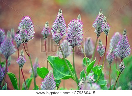 Pink Mulla Mulla Feathery Flowerheads, Ptilotus Exaltatus, Family Amaranthaceae. Endemic To Arid And