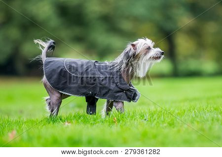 Chinese Crested Dog Walking In The Countryside In A Coat Mouth Slightly Open. A Mostly Hairless Dog
