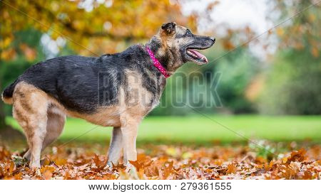 Very Old Alsatian Smiling Standing In Fall Autumn Leaves Ready To Bark With Mouth Open. An Alsatian