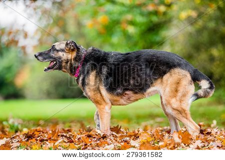 Very Old Alsatian Smiling Standing In Fall Autumn Leaves Ready To Bark. An Alsatian Or German Shephe