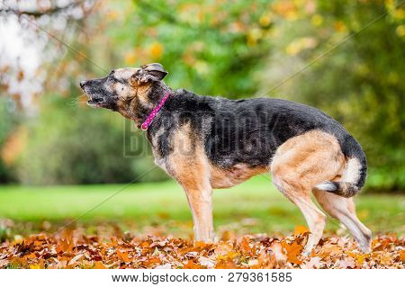 Very Old Alsatian Smiling Standing In Fall Autumn Leaves Barking With Saliva Trails From Mouth. An A
