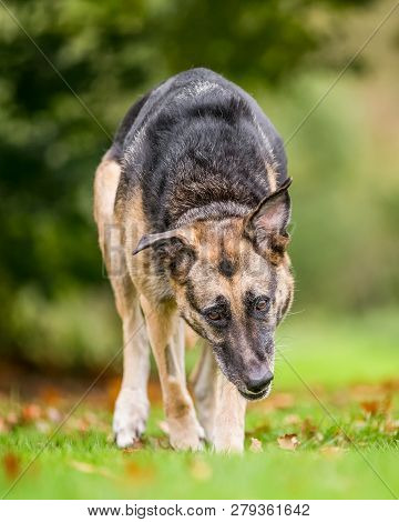 Very Old Alsatian Walking Towards Camera In Grass And Leaves Head Way Down. An Alsatian Or German Sh
