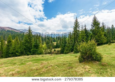 Beautiful Springtime Landscape In Mountains. Spruce Forest On Grassy Hillside Meadow. Spots Of Snow