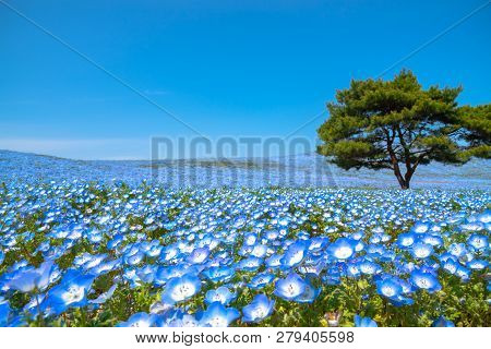 Mountain, Tree And Nemophila (baby Blue Eyes Flowers) Field, Blue Flower Carpet, Japanese Natural At