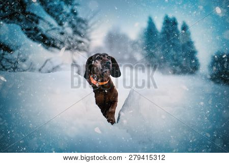 Hunting Dog In The Snow. Bavarian Breed Dog Wearing A Orange Collar. Brown Dog Covered By Snow. Prof