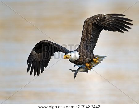 Bald Eagle In Flight With Large Fish In Talons