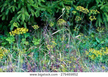 Meadow Flowers, Grass, Flora On Lawn In The Park, Garden. Summer, Summertime Landscape. Foliage, Sea