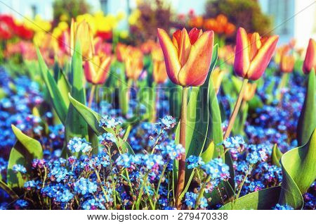 Red Tulips And Blue Forget-me-not Flowers Planted In The Park. Springtime Scene. Beauty Photo Filter