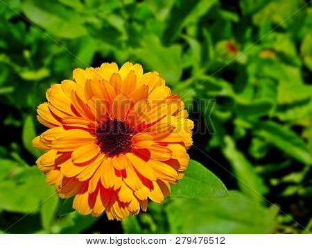 Calendula (marigold Flower) & Leaf On Green Natural Summer Background. Calendula Medicinal Plant Pet