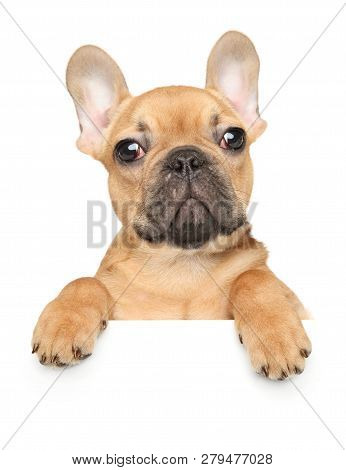 French Bulldog Dog Puppy Above Banner, Isolated On White Background