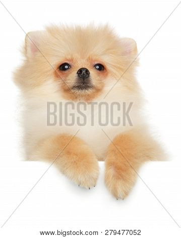 Pomeranian Spitz Puppy Above Banner, Isolated On White Background
