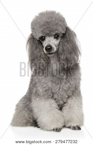 Portrait Of Gray Poodle On White Background. Animal Themes