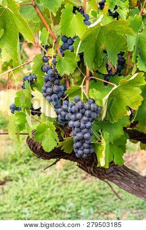 French Red And Rose Wine Grapes Plant, First New Harvest Of Ripe Wine Grape In France, Costieres De