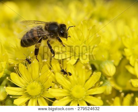 Big Bee Collecting Honey From Yellow Flower. Nice Bee Close Up Isolated In Yellow Floral Background.