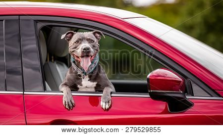 A Staffordshire Bull Terrier Looking Out Of A Car Window Side On View. A Grey Gray Or Blue Dog In A