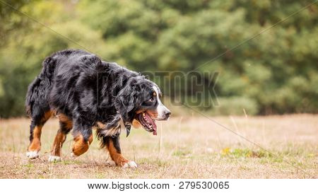 A Large Brown And Black Dog On Rough Grass Looking Up. A Sandy, Brown, Black And White Dog With Tong