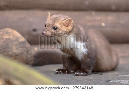 House Marten (martes Foina) Also Known As Beech Marten Or Stone Marten. Resting And Relaxing In Back