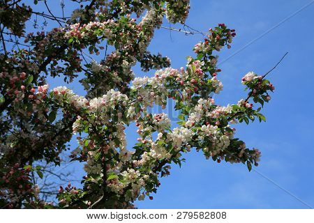Blooming Branch Of Apple Tree On The Background Of Sky
