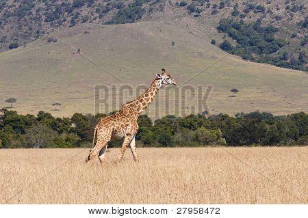 Giraffe in the Masai Mara Game Reserve Kenya Africa poster