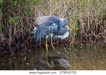 A Tricolored Heron Fluffs And Shakes His Feathers.