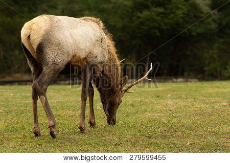 Elk Wapiti Grazing