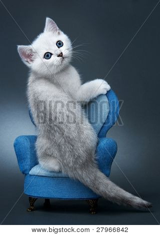Kitten of the British breed. Rare coloring - a silvery chinchilla