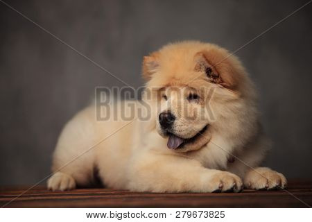 yellow chow chow lying on wooden floor with blue tongue exposed looks to side poster