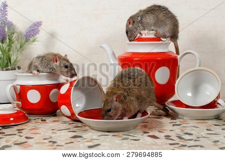 12ec347a1fc6d Close-up Three Rats (rattus Norvegicus) On Countertop At Kitchen. One Rat