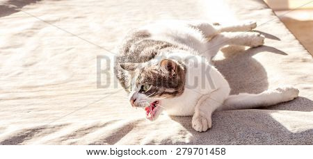Beautiful Blue Eyes Female Cat, Hypoallergenic Cat. Animal That Can Be Pet By People Who Is Allergic