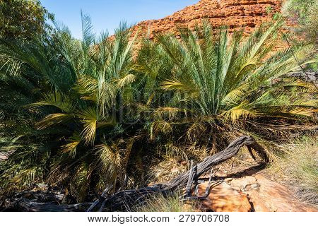 Macdonnel Ranges Cycad Or Macrozamia Macdonnellii In Kings Canyon In Nt Central Outback Australia