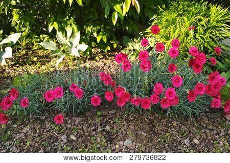 Pink carnation in the garden