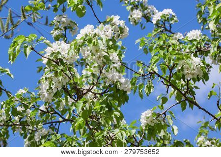 Beautiful Pear Tree Is Blooming On A Spring Meadow. Pyrus Communis.