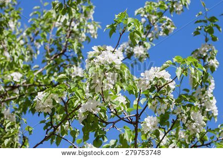 Blossoming Twig Of Beautiful Pear Tree Against The Blue Sky. Pyrus Communis.