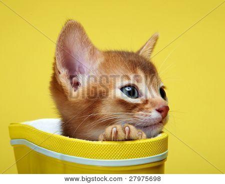 Kitten abyssinian. Age - 1 month