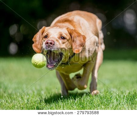 Labrador Retriever Running Towards Camera About To Catch A Ball. Sandy Or Golden Dog With Mouth Open