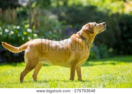 Labrador Standing With Drool Or Saliva Coming From Its Mouth On A Sunny Day. Golden. Golden. A Sandy