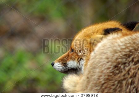 Wild red fox behind the bars looking around poster